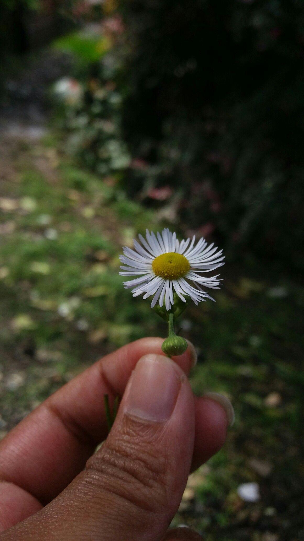 Daisy like nature pinterest flowers daisy like izmirmasajfo