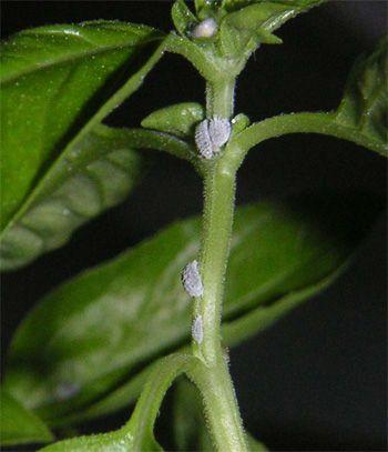 Mealy Bugs White Bugs On House Plants Bitki Bahcecilik
