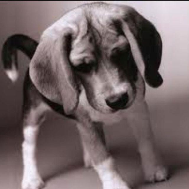 Stunning Black White Photo Beagle Puppy Beagle Dog Cute Beagles