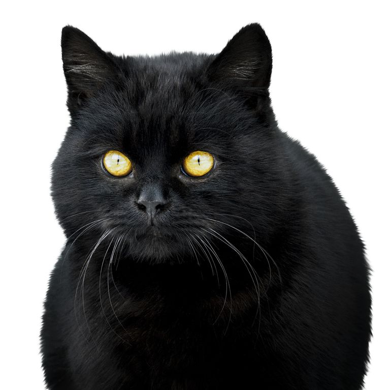 Willing To Chance Your Luck Check Out These 11 Black Cat Breeds