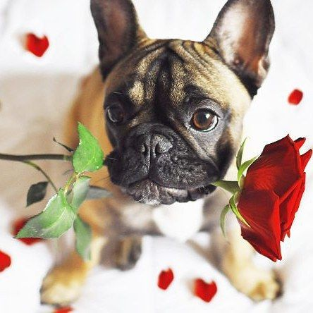 I Wuv You French Bulldog Puppy With A Rose Frenchie Puppy