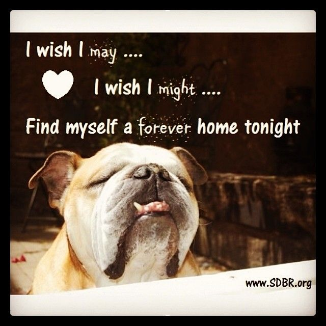 San Diego Bulldog Rescue Our Mission Is To Find Permanent Loving
