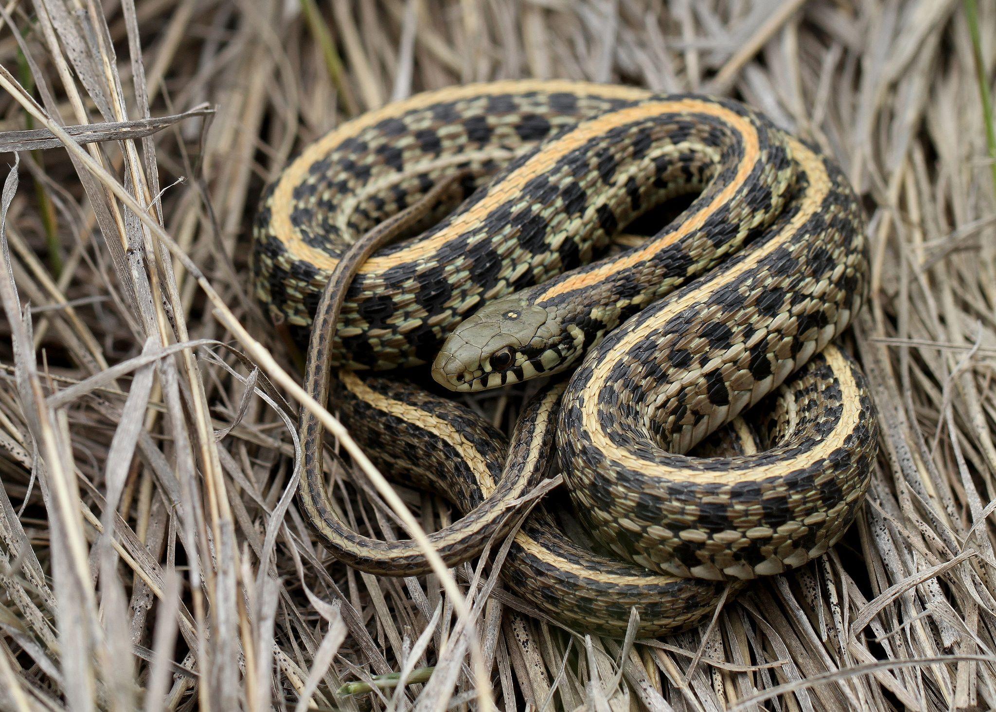Plains Garter Snake Thamnophis Radix Snake Garter Animal Facts