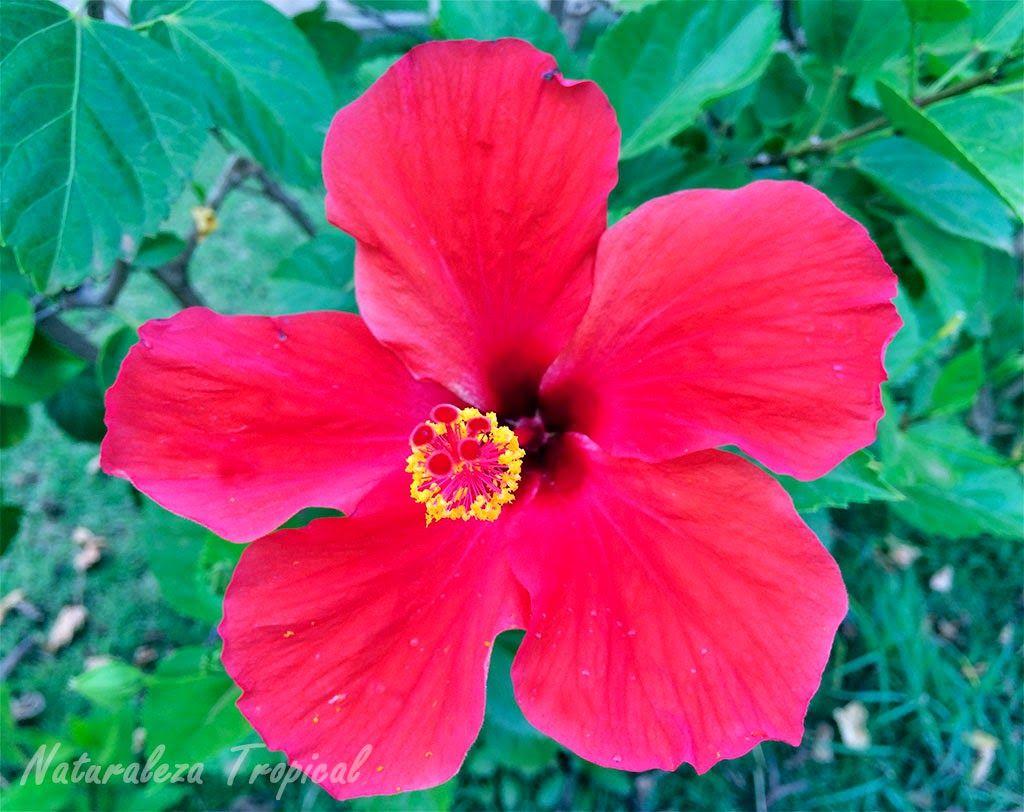 Flor de la planta marpac fico nombre popular de hibiscus for Caracteristicas de las plantas ornamentales