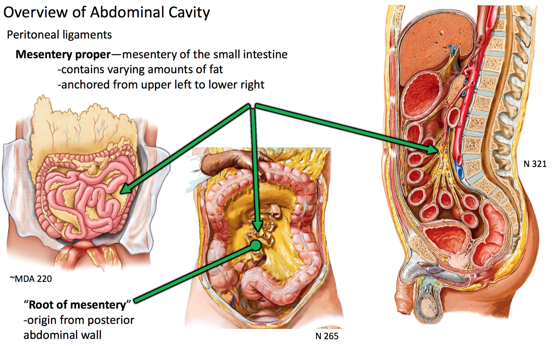 Eli5  What Is The Difference Between The Mesentery And The