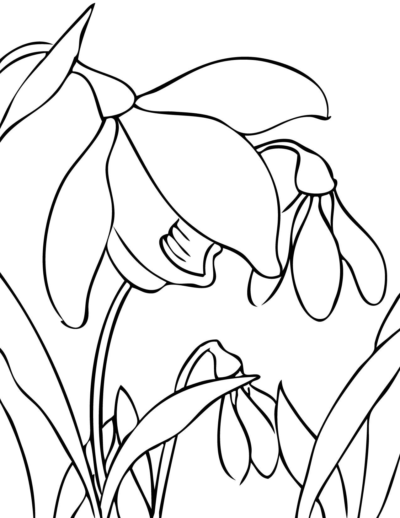 Snowdrop Coloring Page  Flower coloring pages, Spring flowers