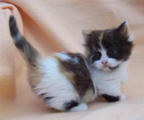 Munchkin For Sale Munchkin Kitten Munchkin Cat Kittens