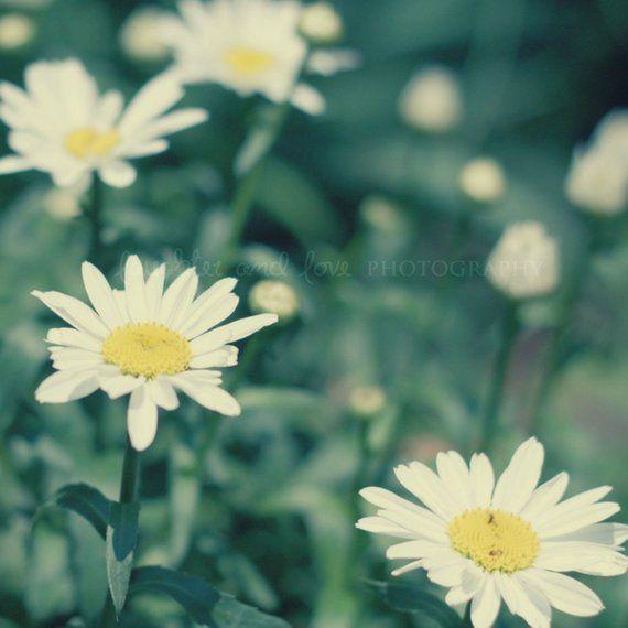 Daisies Fine Art Photography VIntage Retro Shabby Chic ...