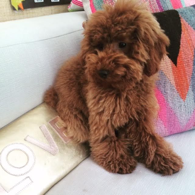 Shirley A Red Poodle From Scarlet S Fancy Poodles Located On The