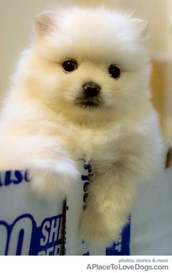cute and fluffy ? from APlaceToL... ? dog dogs puppy puppies cute doggy doggies adorable funny fun silly photography