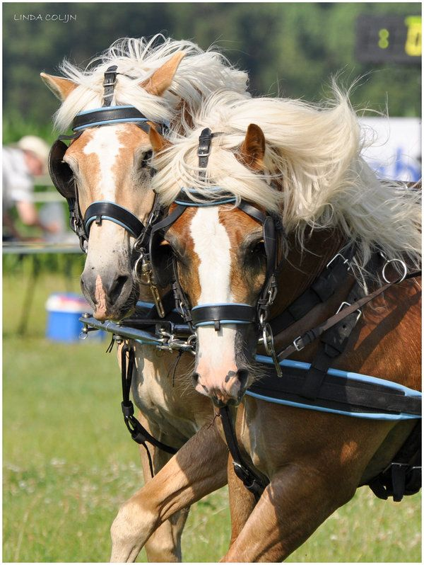Haflinger Duo | Hopelessly in With Horses | Horses, Haflinger ...