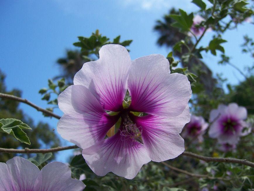 The 2 Minute Gardener: Photo - Tree Mallow (Lavatera maritima)