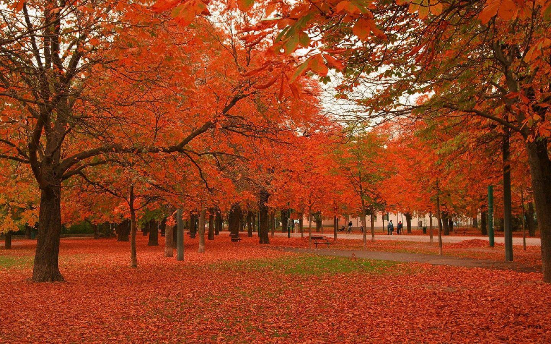 Maple Tree Tree Desktop Wallpaper Autumn Trees Tree