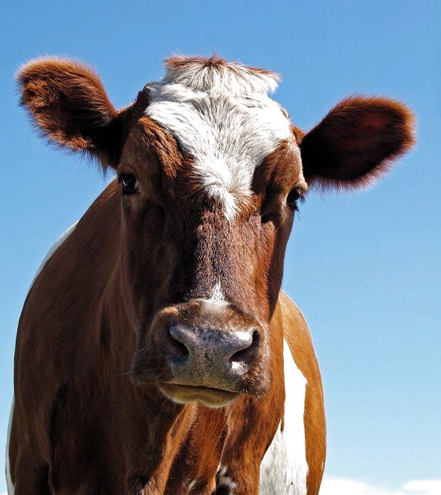Pin Von Melanie Steinke Auf Tieris Kuhe Und Kalber Tiere Saugetiere