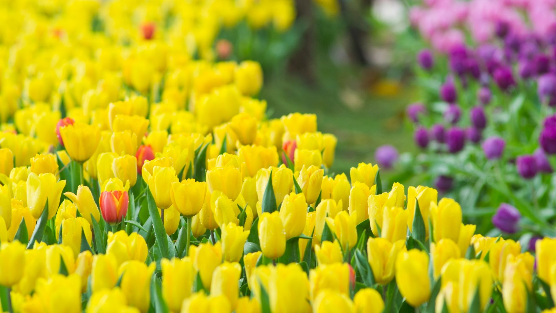 Category yellow wallpaper page 0 high resolution wallarthd tulips in any colour are another of my favorite flowers i would love to have a garden full of all sorts of different flowers in an array of bright colours mightylinksfo Gallery