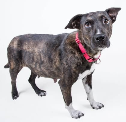 Adopt Aspen A Lovely 3y 1m Australian Cattle Dog Mix Available For Adoption At Petango Com Will You Adopt Me Signed Rescue Pet Pet Adoption Dogs An