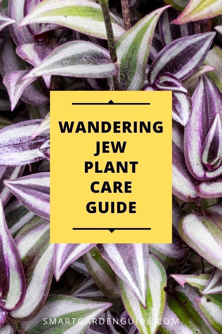 Wandering Jew Plant Care Guide. Lesen Sie, wie Sie Tradescantia zebri anbauen und pflegen ... #wanderingjewplant