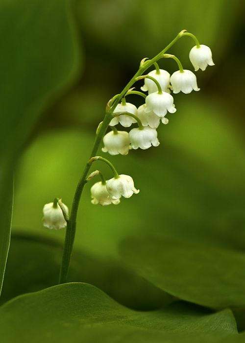 Lily Of The Valley Convallaria Majalis Photographed On The Woodland Trail At Meadowlark Botanical Gardens In Vienn Botanical Gardens Botanical Mother Nature