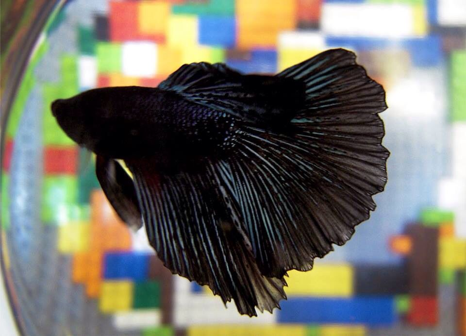 Chinese fighting fish black all kinds of different for What type of water do betta fish need