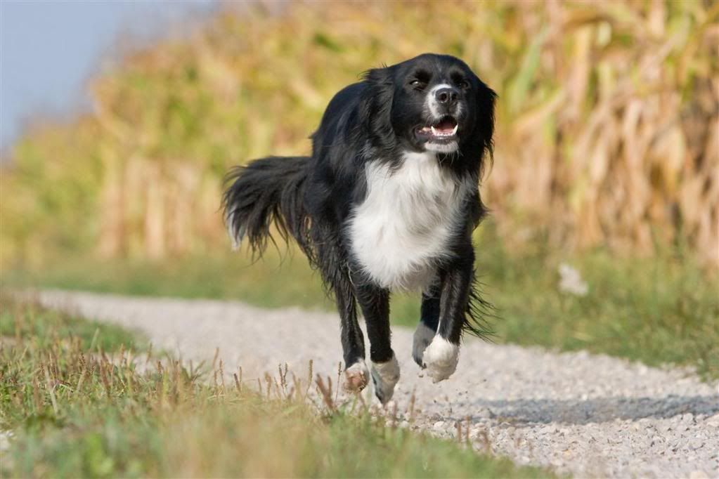 Want Sprollie Border Collie Springer Spaniel Mix Sprollie