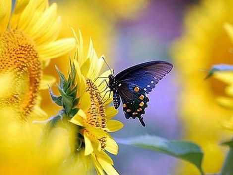 Butterfly meets Sunflower