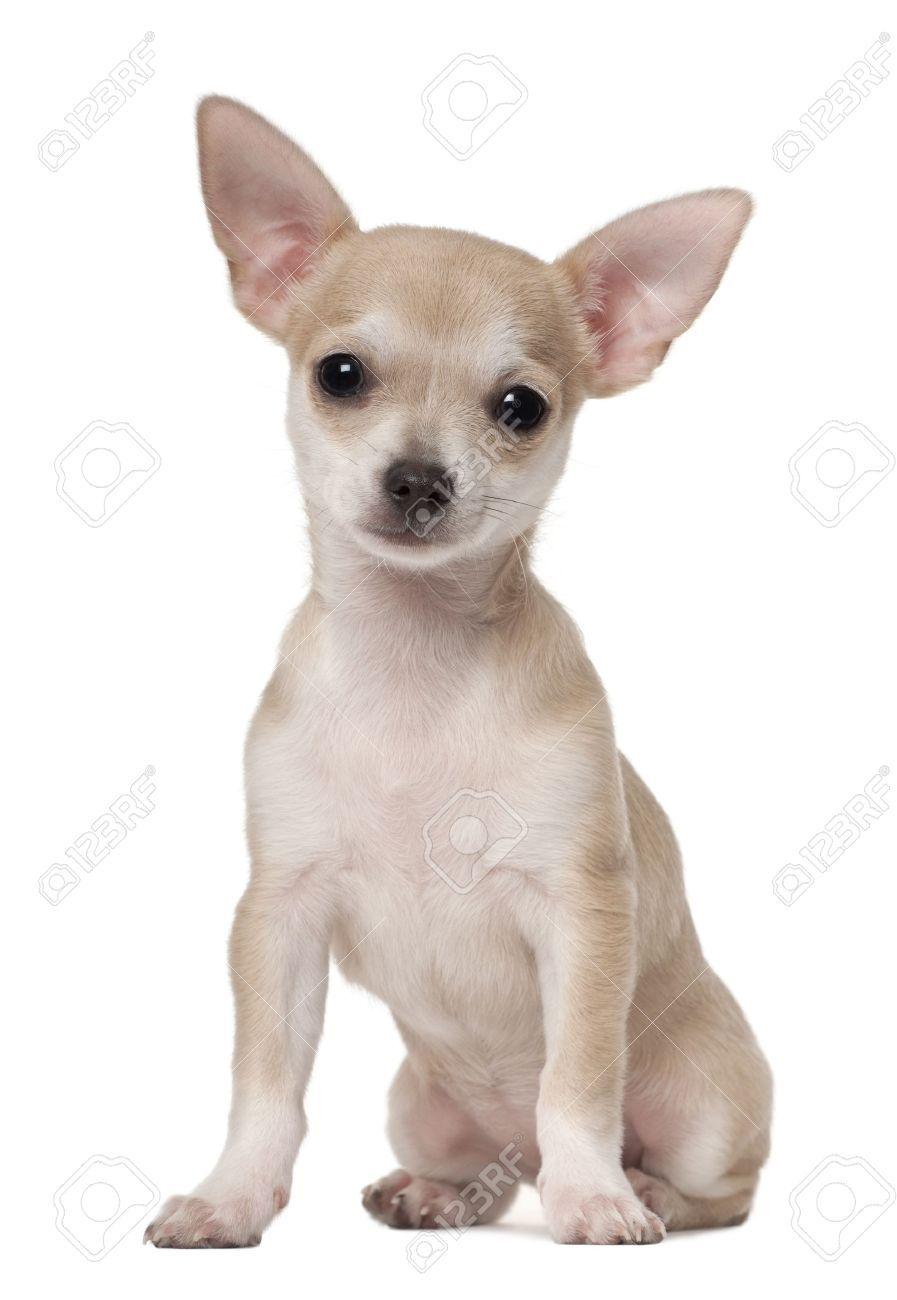 Stock Photo Chihuahua Puppies Chihuahua Chihuahua Love