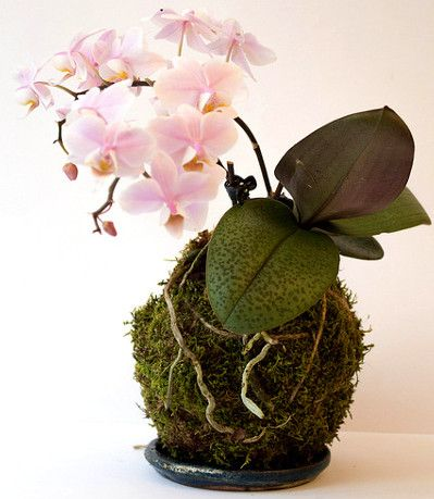 comment cr er son kokedama un kokedama est compos de trois choses de la mousse une plante. Black Bedroom Furniture Sets. Home Design Ideas