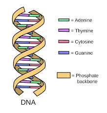 Image Result For Dna Dna Project Dna Model Project Dna