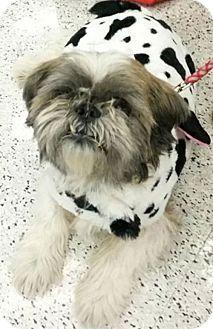Monrovia Ca Shih Tzu Bulldog Mix Meet Funkle A Dog For