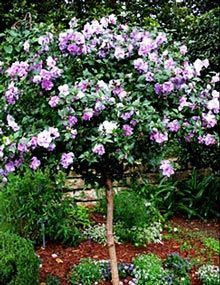 Lavender Rose of Sharon Althea Tree Vibrant Blooms on a Space