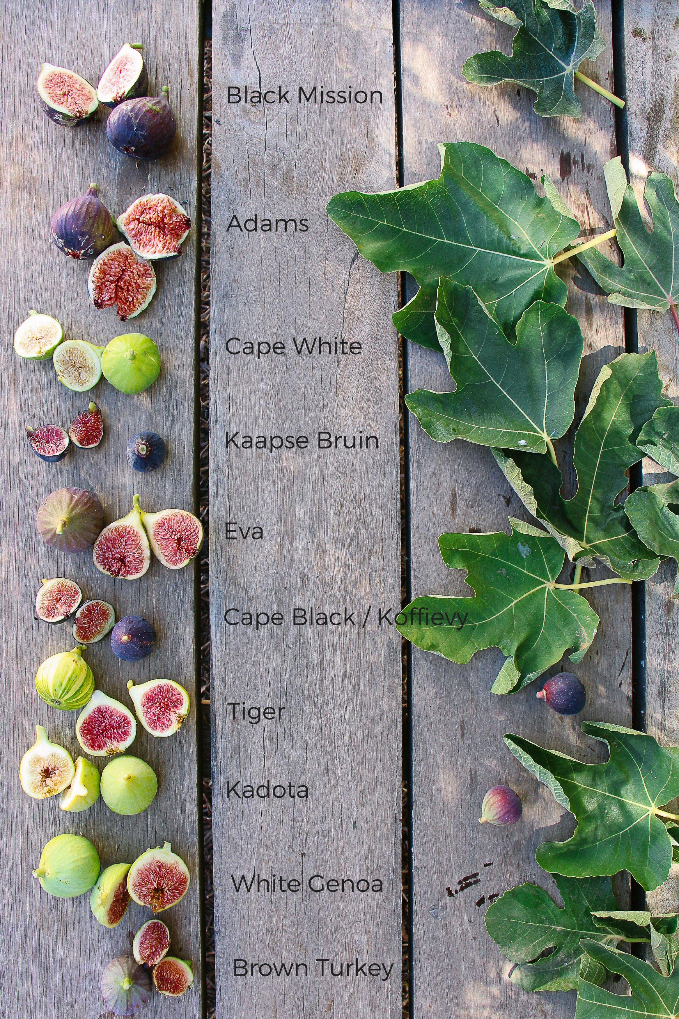 Adam Eve Of Figs Fig Varieties Fig Green Fig