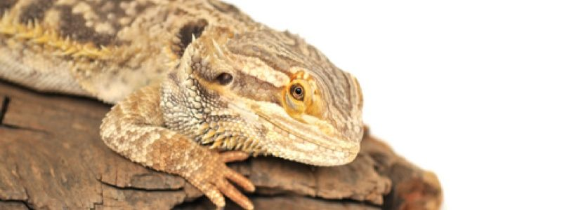 Does My Bearded Dragon Need Bedding In His Cage