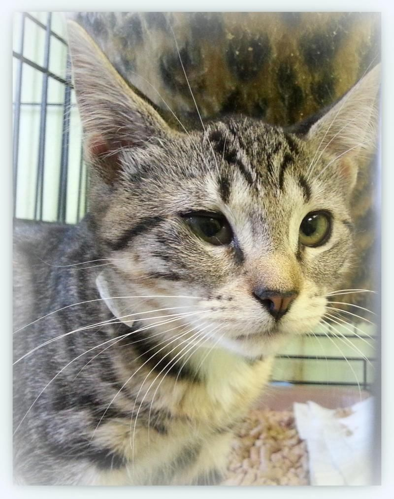 Adopt Sprite On Petfinder Cats Cat Adoption Short Hair Cats