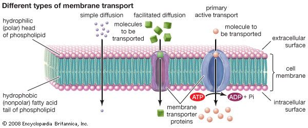 types of transport across membranes | school stuff | Pinterest ...