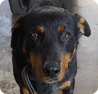 Henderson Nc Rottweiler Mix Meet Rock A Dog For Adoption Dog Adoption Rottweiler Mix Pets