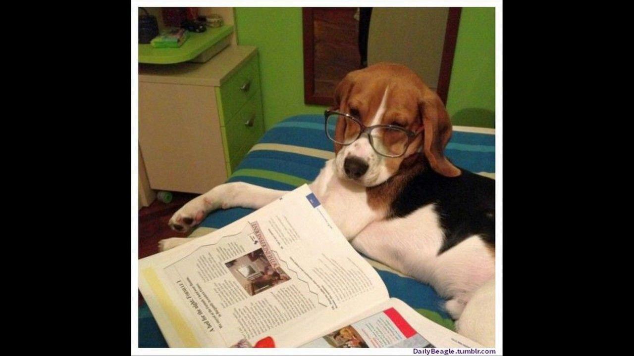 Cute And Funny Beagle Dog Dogs Beagle Beagle Puppy