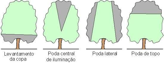 Resultado de imagem para poda radical mangueira
