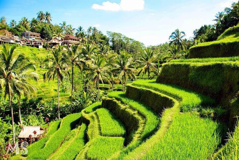 Paling Populer 30 Download Wallpaper Pemandangan Persawahan Gambar Pemandangan Indah Di Indonesia Yang Bisa Anda Download Download Di 2020 Pemandangan Gambar Alam