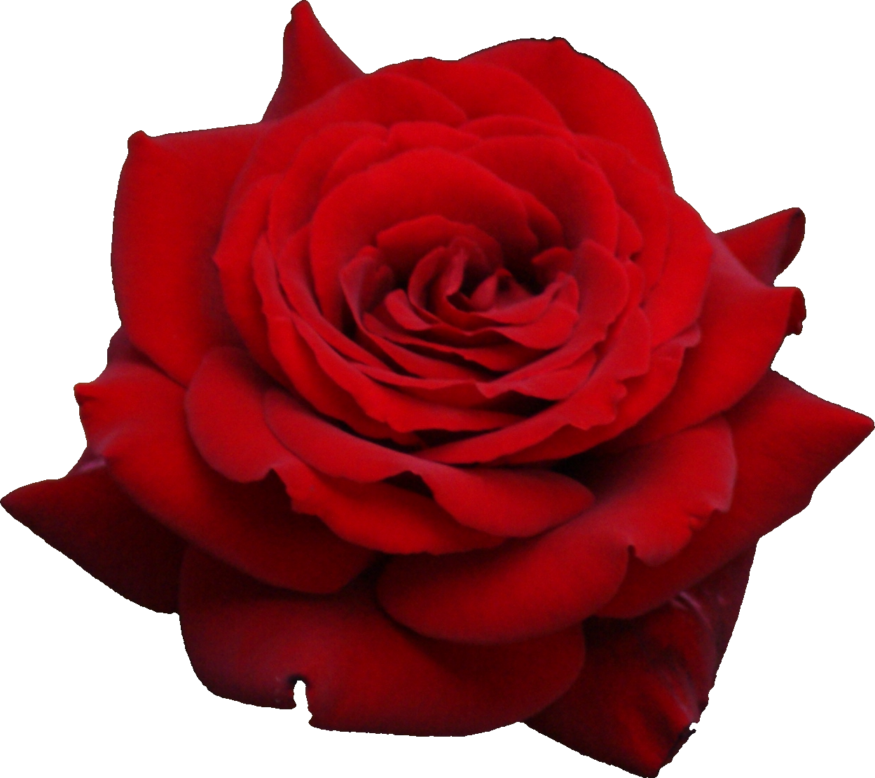 sweet creature Red rose png