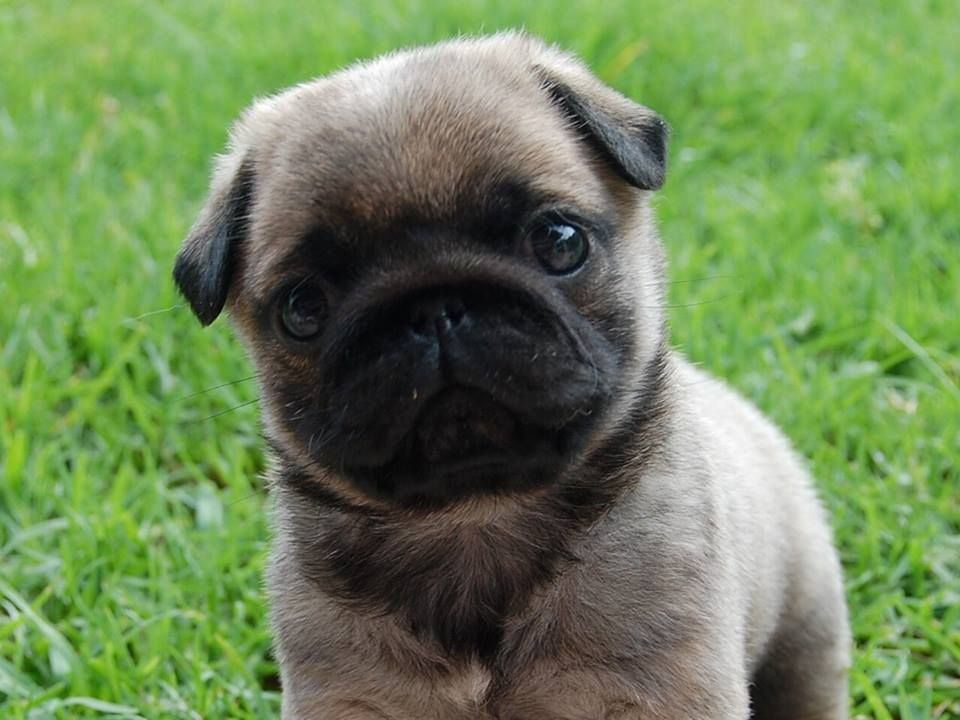 Pin by Wendy Beauchamp on too cute pets pic Cute pugs