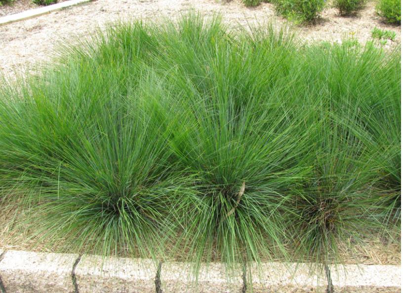 Dwarf Mat Rush Lomandra Confertifolia Lomandra Dry Garden Rush Plant