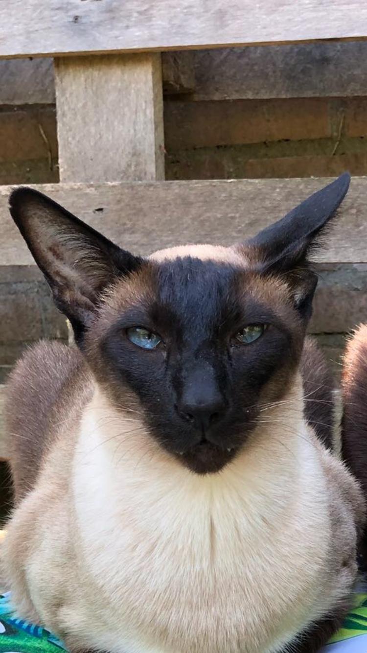 Sem Siamese Cat Simease Cats Oriental Shorthair Cats Balinese Cat