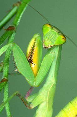Insect Control Praying Mantis 2 Egg Cases 100 400 Babies Patio Lawn Garden Praying Mantis Pest Control