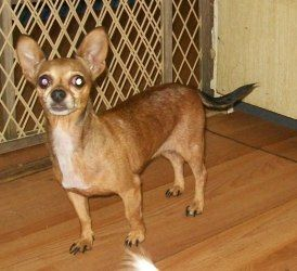Tawna Is An Adoptable Chihuahua Dog In Bunnell Fl This Little
