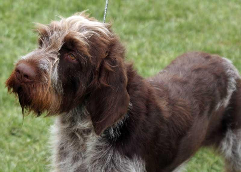 Cesky Fousek - from Czech Republic - great family dogs and fantastic versatile hunting dogs