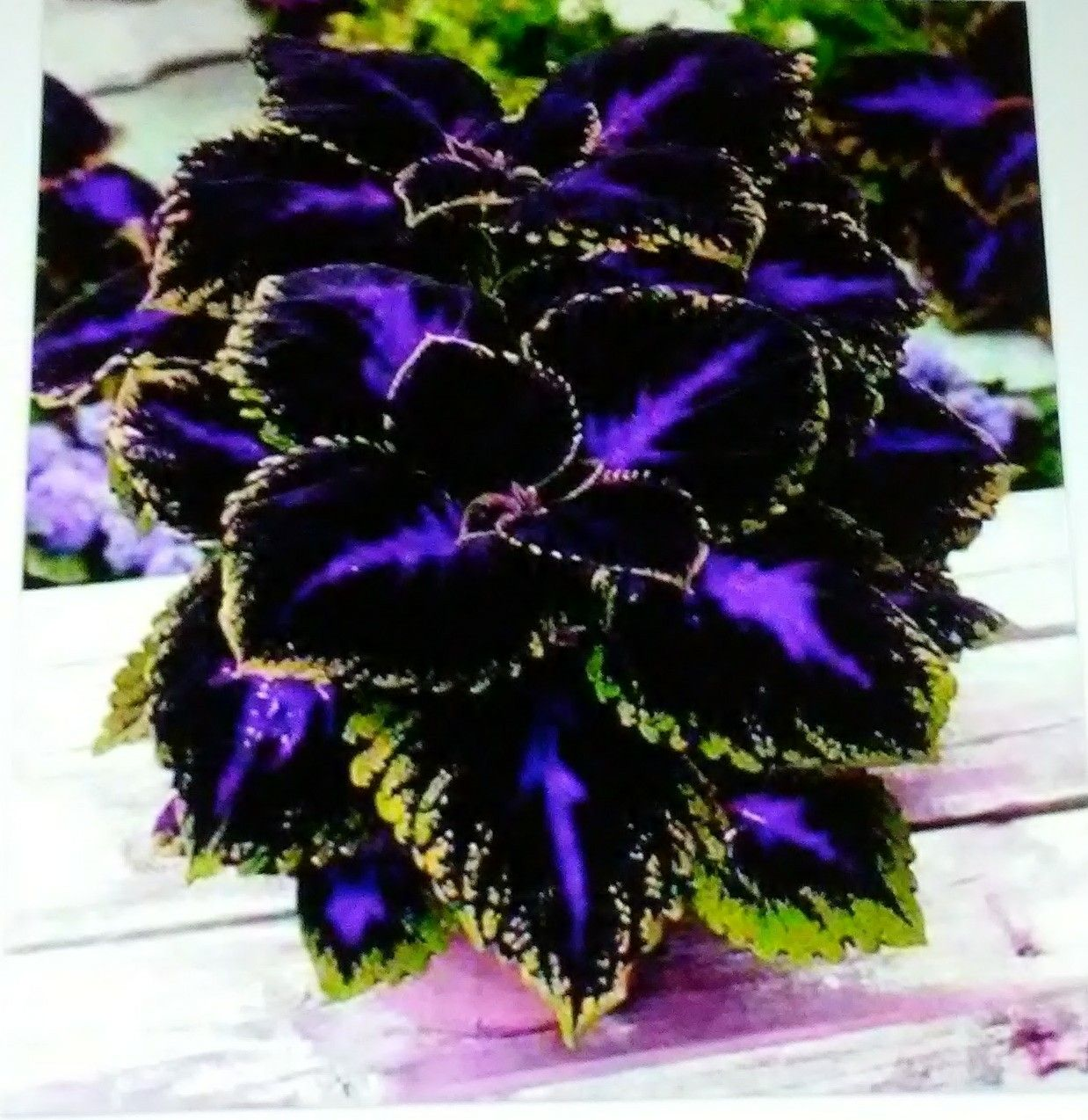 Halloween Style!! Perfect Purple Passion Coleus For The