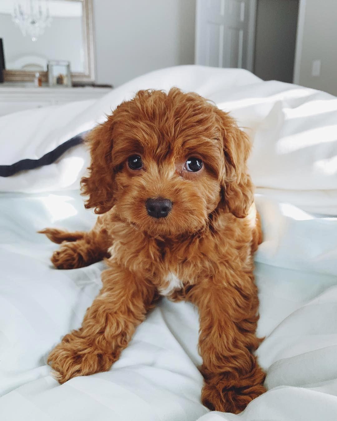 Poodles Smart Active And Proud Babyhunde Susse Hunde Welpen