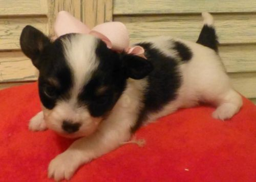 Papillon Chion Baby Black White Tan Female Puppies See Lola And Lilly On My Ebay Ad And Website Www Tejastlittlecutiechihuahuas Com Tejidos
