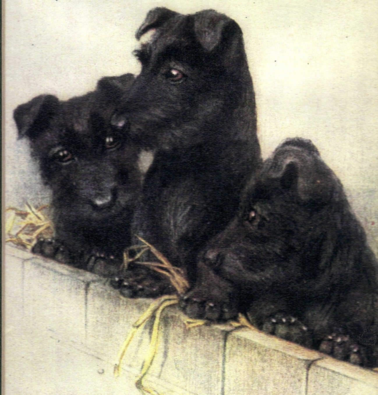 ♦Google Image Result for http://content.breederoo.com/users/Brigadoons/images/content/old_scottie_puppy_s.jpg