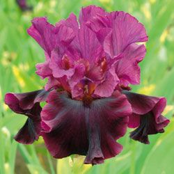 "Iris Silken Trim  Type: Tall Bearded   Color: Red   Style: Bitone   Originator: Schreiner   Year: 2012   Height: 36""   Bloom Season: L   Rebloom: No"